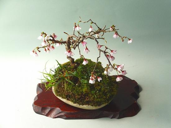 雲竜富士桜H26年3月