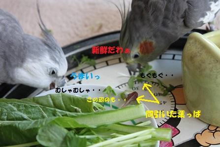 レタスの間引き菜をあげてみた
