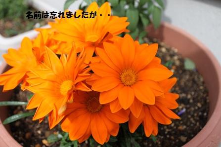 玄関先に置いている花です
