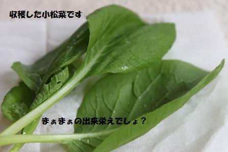 我が家で採れた小松菜です