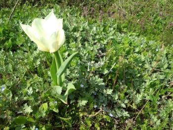 20140401チューリップが咲きました。2