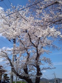 20140402桜~♪3