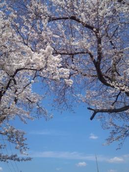 20140402桜~♪2