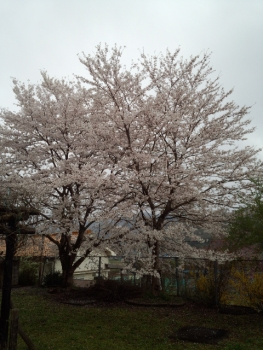 20140406桜