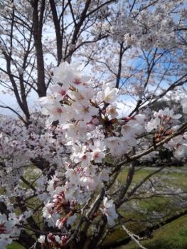 20140406桜3