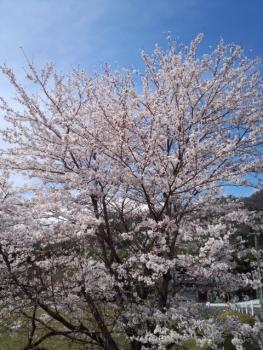 20140406桜2