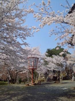 20140408城址公園の桜~♪3