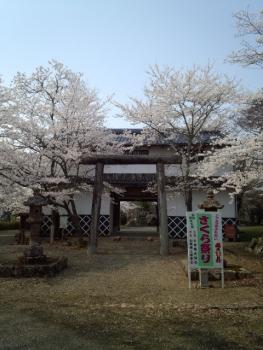 20140408城址公園の桜~♪