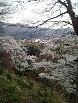 20140408城址公園の桜~♪4