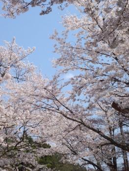 20140408城址公園の桜~♪5