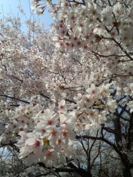 20140408城址公園の桜~♪6
