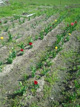 20140409チューリップが咲き始めました。2