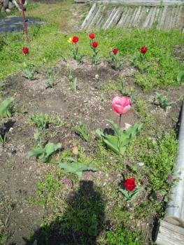 20140409チューリップが咲き始めました。