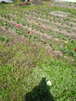 20140409チューリップが咲き始めました。3