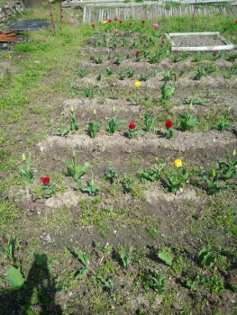 20140409チューリップが咲き始めました。4