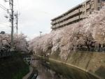 川沿いの桜並木