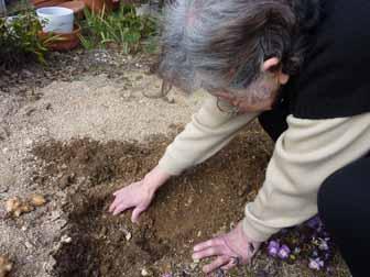 菊芋掘り2