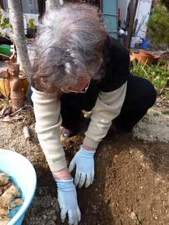 菊芋掘り3