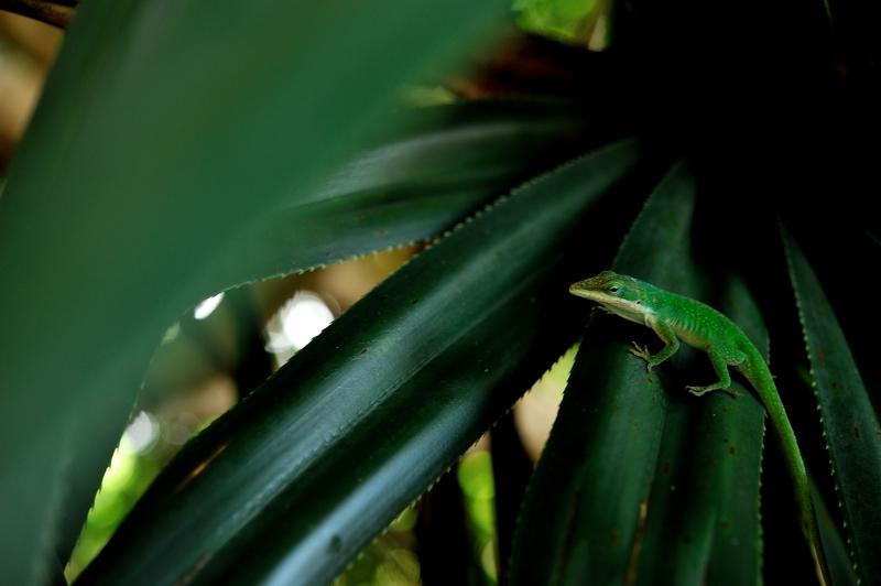 グリーンアノール Anolis carolinensis