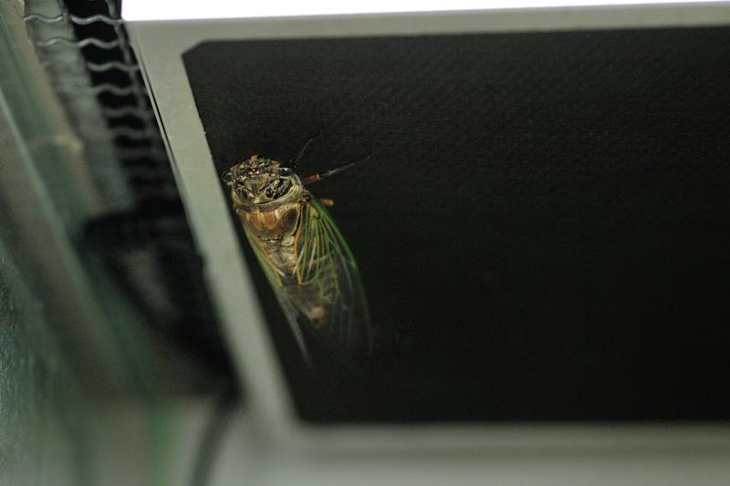 クマゼミ Cryptotympana facialis