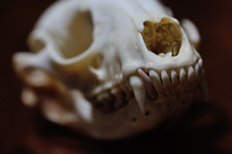 アライグマ頭骨