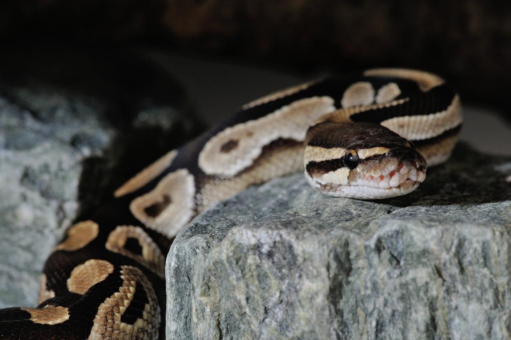 ボールパイソン Python regius