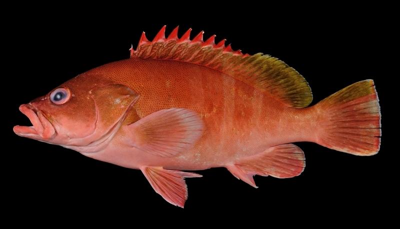 アカハタモドキ Epinephelus retouti