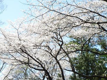 お花見 003