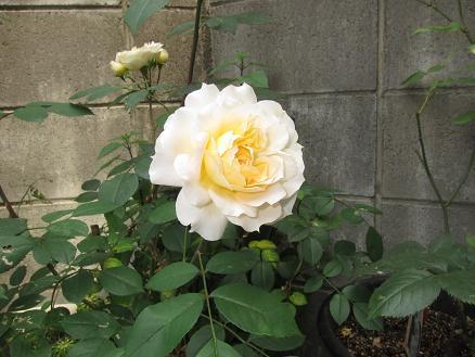 CA7AF1C6イガ子さんのバラ
