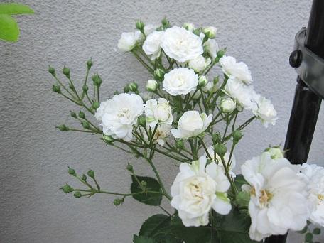 2014アルバ開花6