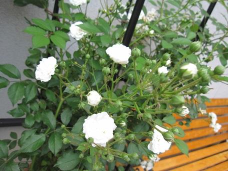 アルバ2番花2
