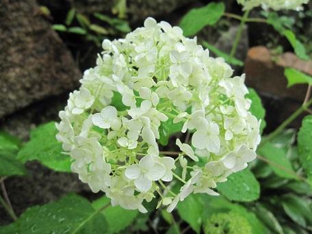アナベル開花1