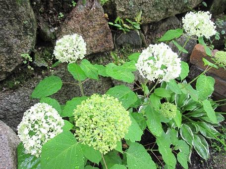 アナベル開花2