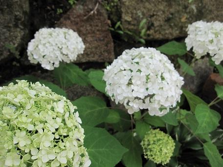 アナベル開花3