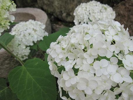 アナベル開花4