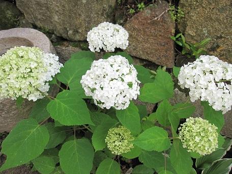 アナベル開花5