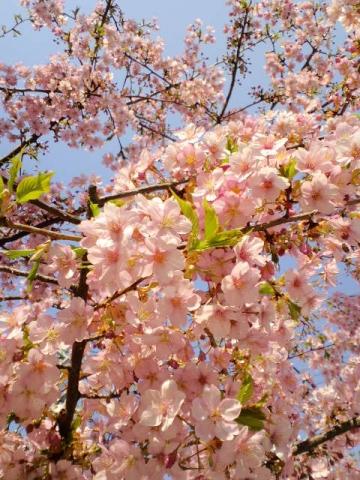 一条戻り橋の桜