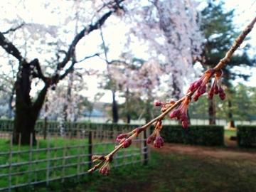 糸桜つぼみ
