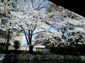 疎水からの桜