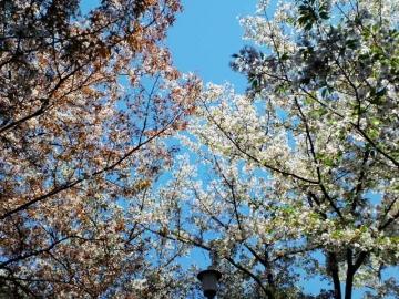 左が容保桜