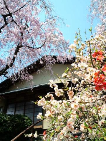 原谷ボケの花