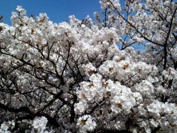御室桜は一重が9割
