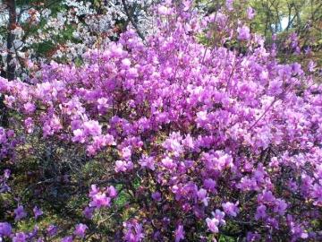 関山サトザクラの八重咲品種