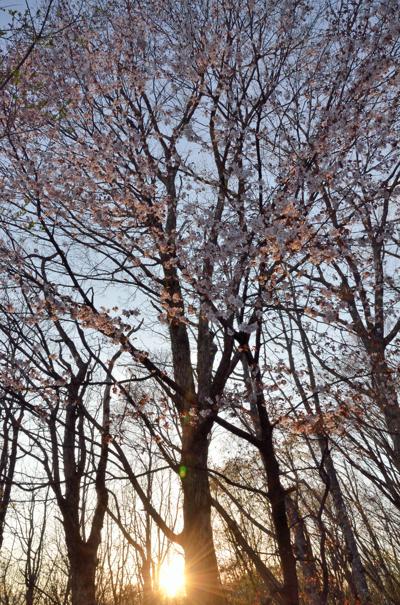 0506_sakura_1000m_3.jpg