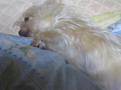 朝、布団で気持ちよさそうに横になってるチヨ