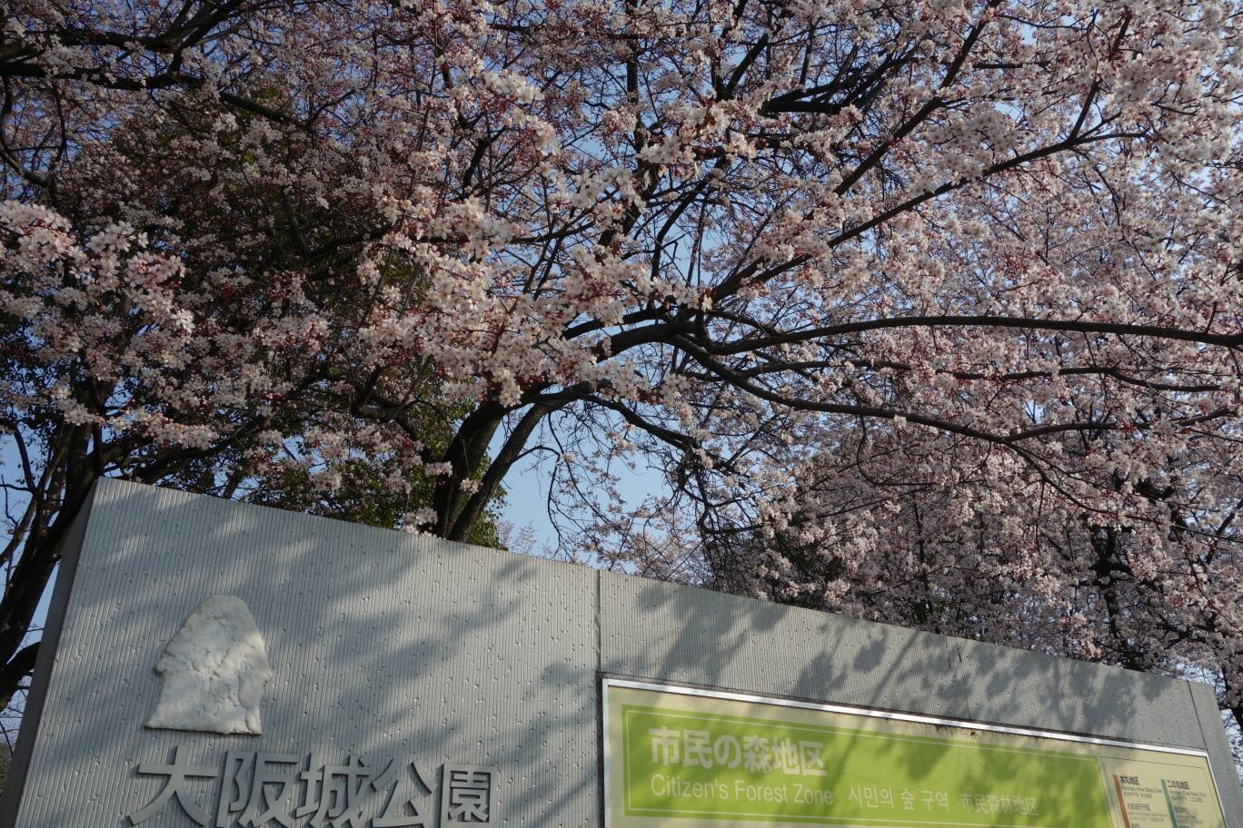 大阪城公園の桜?その1