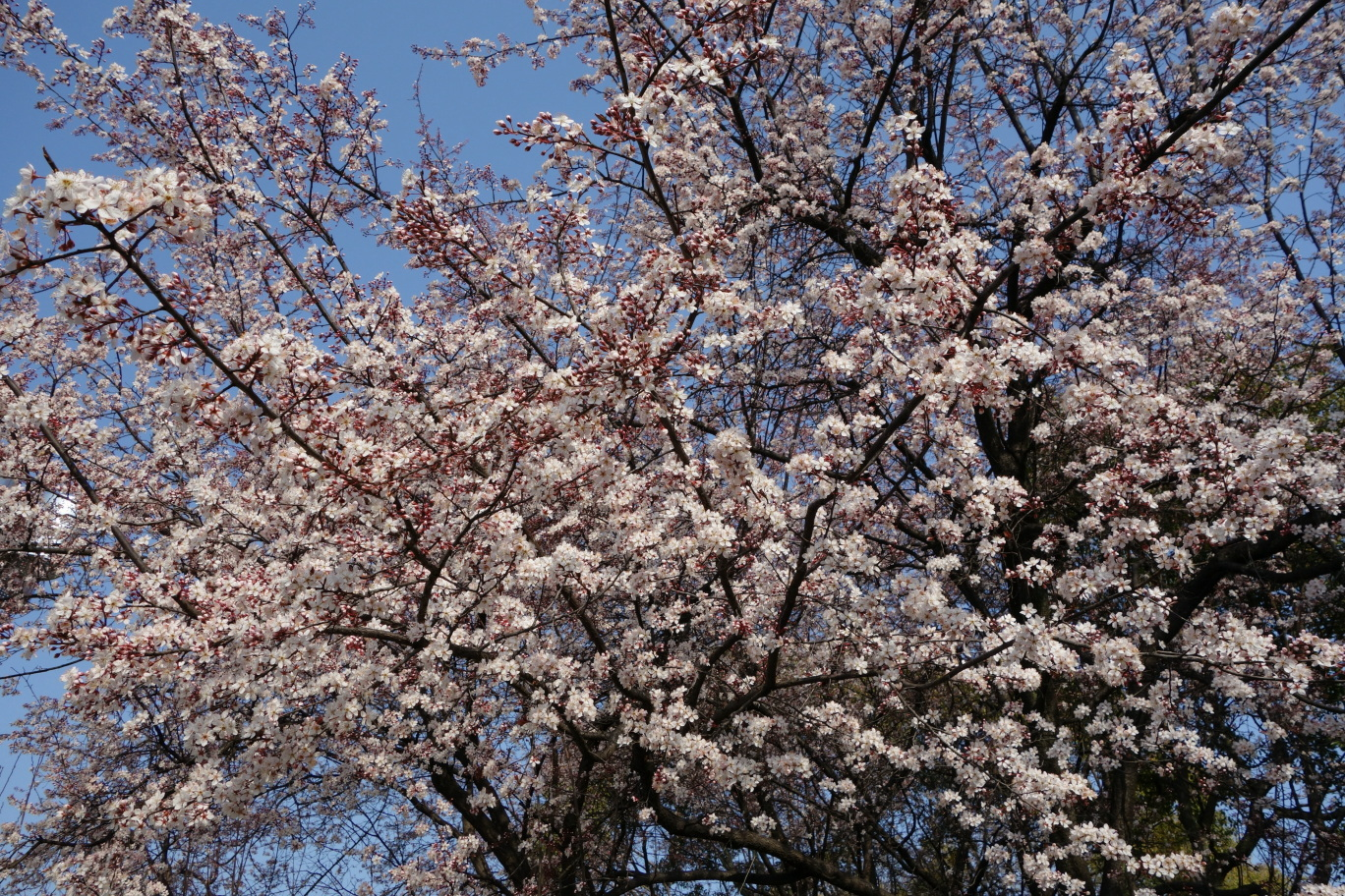 大阪城公園の桜?その2