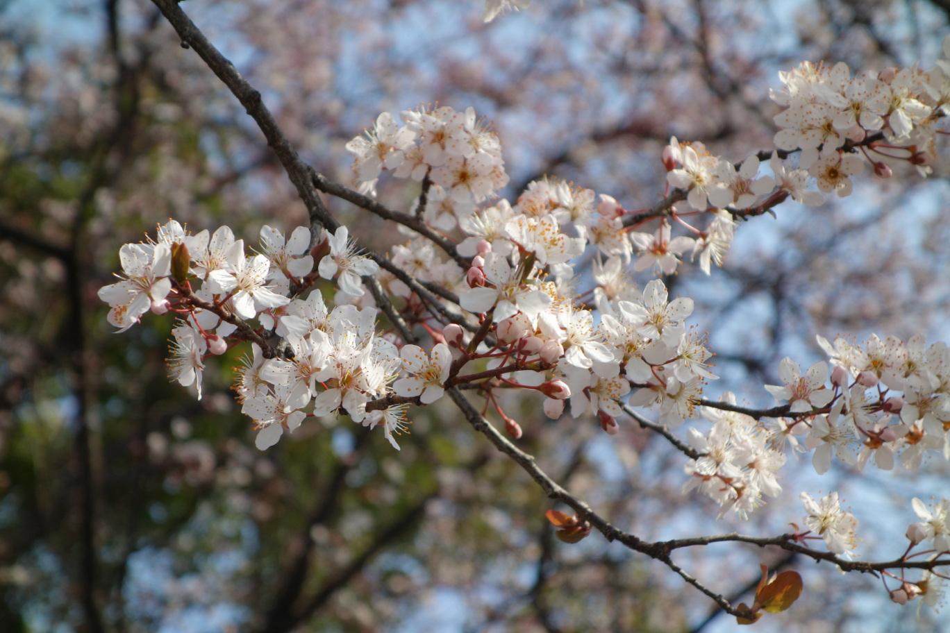 大阪城公園の桜?その3