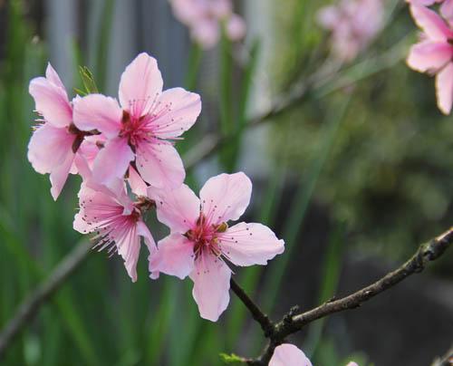 H26桃の花