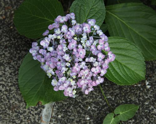 2014 紫陽花